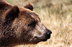 Grizzly bear on the meadow Stock Photos