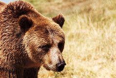 Grizzly bear on the meadow Stock Images