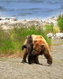 Grizzly Bear Mom & Cub. This image was taken at Katmai National Park, Alaska Stock Image