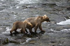 Grizzly bear mom with a cub. Stock Photo
