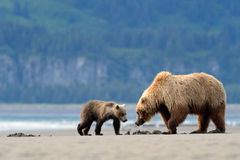 Grizzly Bear. Mother Grizzly Bear with cub feeding on clamps Royalty Free Stock Image