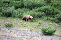 A grizzly bear in nature Stock Photography