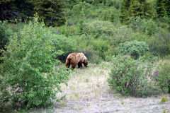 A grizzly bear in nature Royalty Free Stock Images