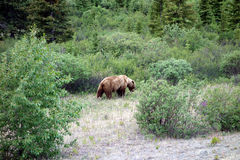 A grizzly bear in nature Royalty Free Stock Photography