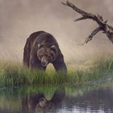 Grizzly Bear. Near the Pond stock photo