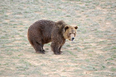 Grizzly Bear in open field Royalty Free Stock Photography