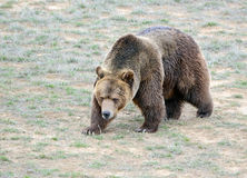 Grizzly Bear in open field Stock Photo