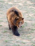 Grizzly Bear in open field Stock Images
