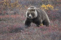 Free Grizzly Bear Or Brown Bear Alaska Stock Images - 133161694