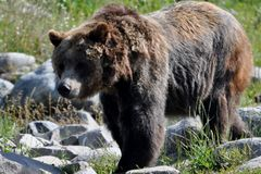 Grizzly Bear. Picture of a large mature grizzly bear near Yellowstone with its winter coat shed Stock Images
