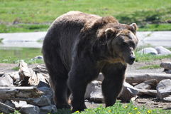 Grizzly Bear. Picture of a large mature grizzly bear near Yellowstone with its winter coat shed Stock Image