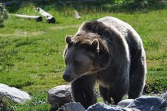 Grizzly Bear. Picture of a large mature grizzly bear near Yellowstone with its winter coat shed Royalty Free Stock Photo