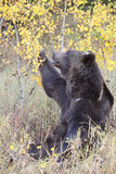 Grizzly Bear playing with leaves Stock Image