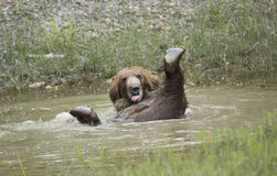 Grizzly bear playing in pond Stock Photography