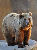 Grizzly Bear Portrait Royalty Free Stock Image