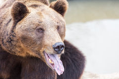 Grizzly bear portrait Stock Photos