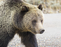 Grizzly bear portrait while crossing road Royalty Free Stock Photos