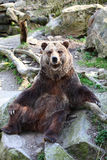 Grizzly Bear posing Royalty Free Stock Photography