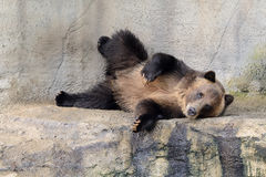 Grizzly Bear Posing Royalty Free Stock Photo