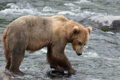 A Grizzly bear positions itself and catches salmon at Brook Falls, Alaska Stock Photo
