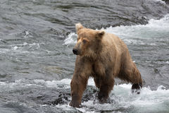 A Grizzly bear positions itself and catches the salmons in the s royalty free stock images