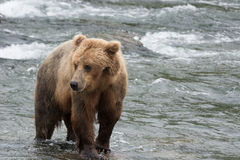 A Grizzly bear positions itself to catch salmon in the shallow waters at the base of a waterfall. Brooks Falls, Katmai National Park, Alaska stock photo