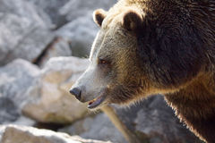 Grizzly bear profile Stock Photo