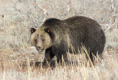 Grizzly bear profile view in deep grass in early fall Royalty Free Stock Photography