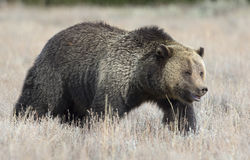 Grizzly bear profile view in deep grass in early fall Royalty Free Stock Image