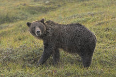 Grizzly Bear in the Rain in the Tundra Stock Photos