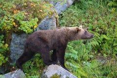 Grizzly Bear Rediubt Bay Alaska Stock Photo