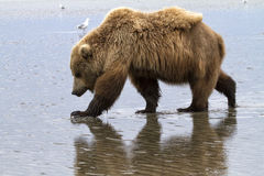 Grizzly Bear and Reflection Royalty Free Stock Image