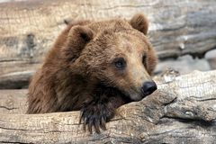 Grizzly Bear Relaxing. Close-up of Grizzly Bear relaxing in large zoo, captive setting (shallow focus stock photography