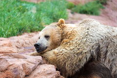 Grizzly Bear Relaxing Royalty Free Stock Photo