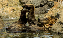 Grizzly Bear Relaxing Stock Photos
