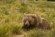Grizzly Bear resting. Grizzly Bear (Ursus arctos) persists in the remote areas of Alaska, western Canada and the Rocky Mountains of the United States Royalty Free Stock Photography