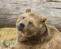 Grizzly Bear. Resting by a down tree Royalty Free Stock Image
