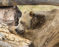 Grizzly Bear. Resting on log and rock face Royalty Free Stock Photo
