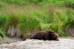 Grizzly bear resting on sand in Kodiak Alaska Royalty Free Stock Photography