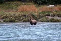 GRIZZLY BEAR IN RIVER FISHING Royalty Free Stock Photos