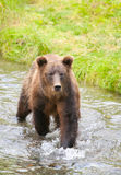 Grizzly Bear in the River, Hyder Alaska, USA Royalty Free Stock Image