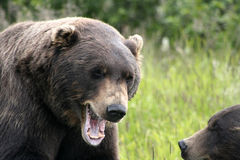 Grizzly Bear Roaring Stock Images