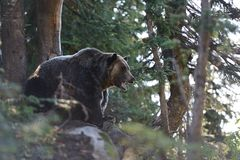 Grizzly bear roaring in the woods Royalty Free Stock Images