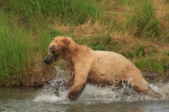 Grizzly Bear Running. This image was taken at Katmai National Park, Alaska Royalty Free Stock Images