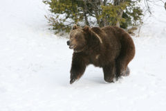 Grizzly Bear Running in Snow Stock Image