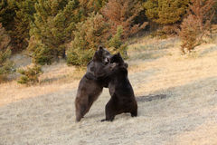 Grizzly Bear s Fighting Royalty Free Stock Photos