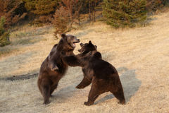 Grizzly Bear s Fighting Stock Image