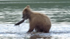 Grizzly bear and salmon stock video