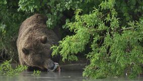 Grizzly bear and salmon stock video footage
