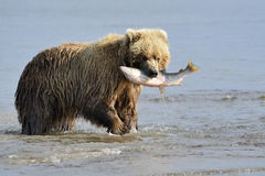 Grizzly Bear. With salmon in mouth Stock Images